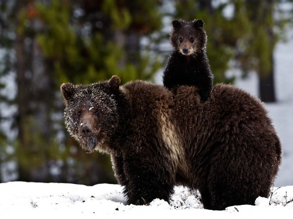 Grizzly Bear and Cub